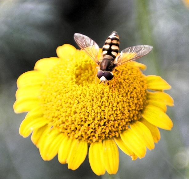 Johannisbeerschwebfliege