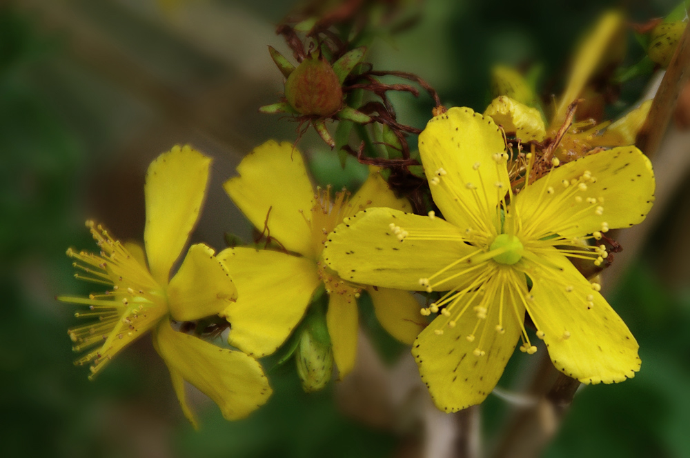 Johanniskraut - gelb