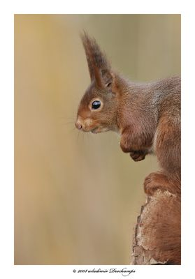Joli ecureuil roux