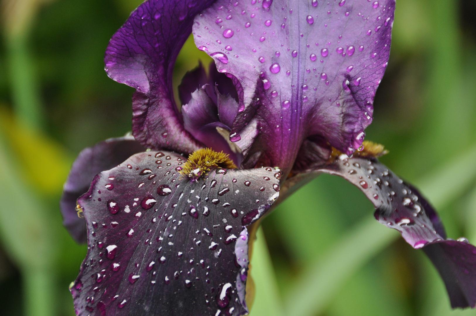Joli iris après la pluie