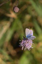 joli papillon bleu