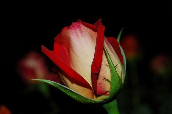 Jolie Rose...