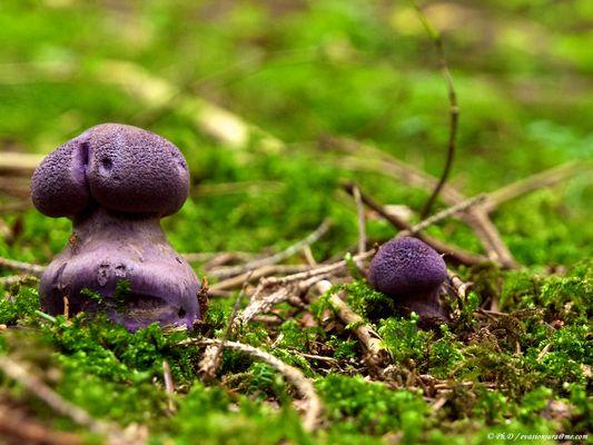 Jolie violet