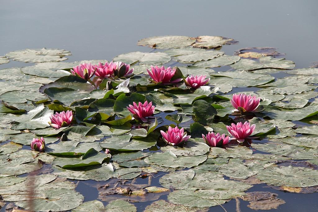 jolies fleurs d'eau