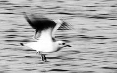 jonathan livingston seagull ..