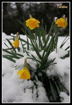 jonquilles sous la neige