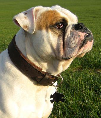 Joschi the Bulldog