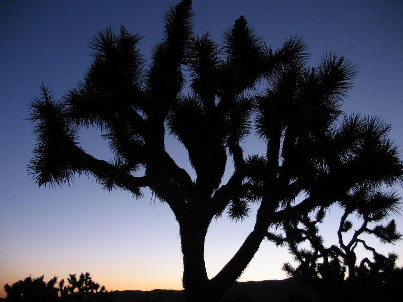 Joshua Tree bei Sonnenaufgang