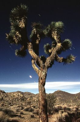 Joshua Tree im Mondlicht