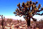 Joshuatree in der Mojavewüste
