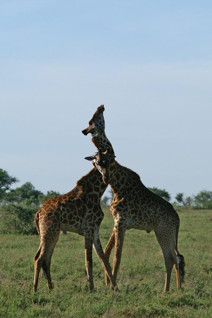 Joute de girafes -4