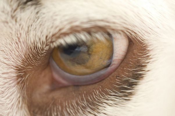 Joy's Auge