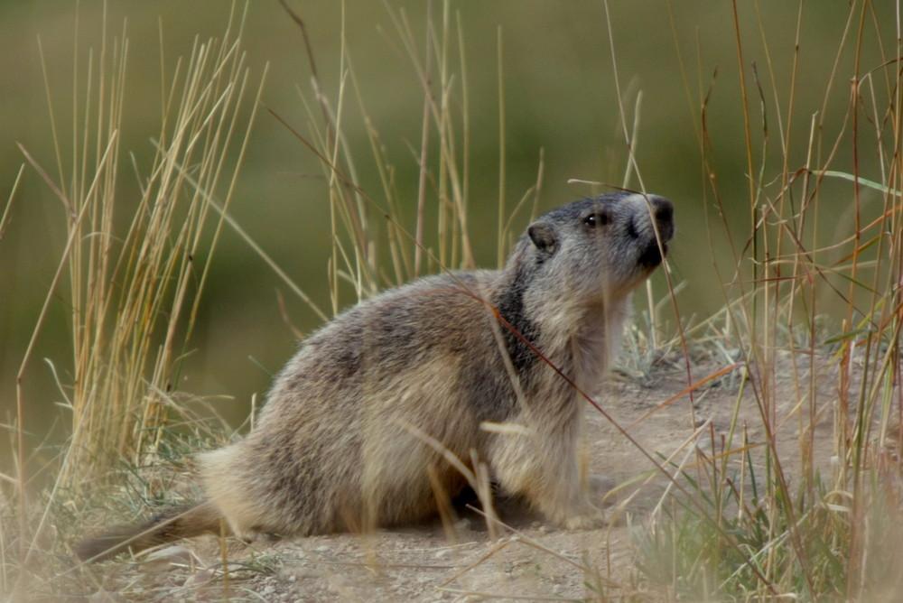 j'te vois ptite marmotte