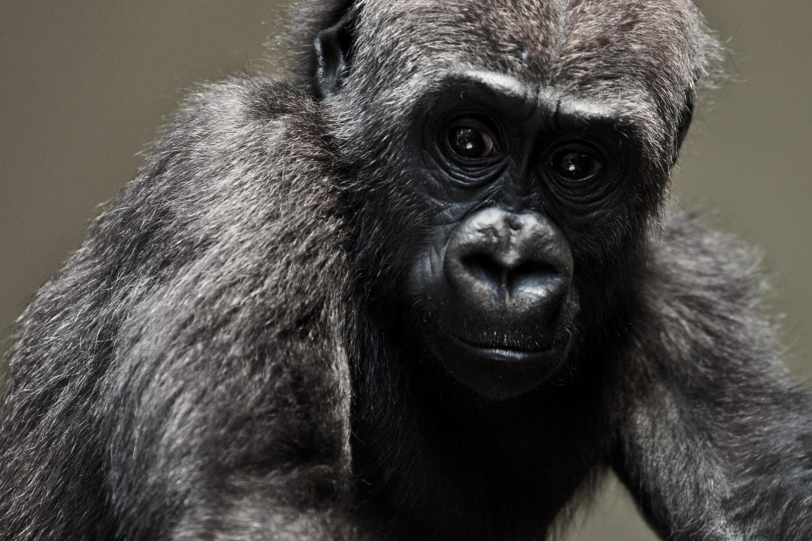 Jugendlicher Gorilla 2