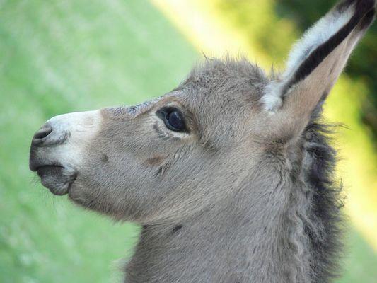 Juhu, es ist ein Esel