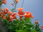 Juliblüte