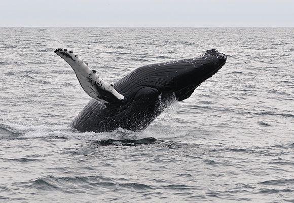 jumpin humpback whale