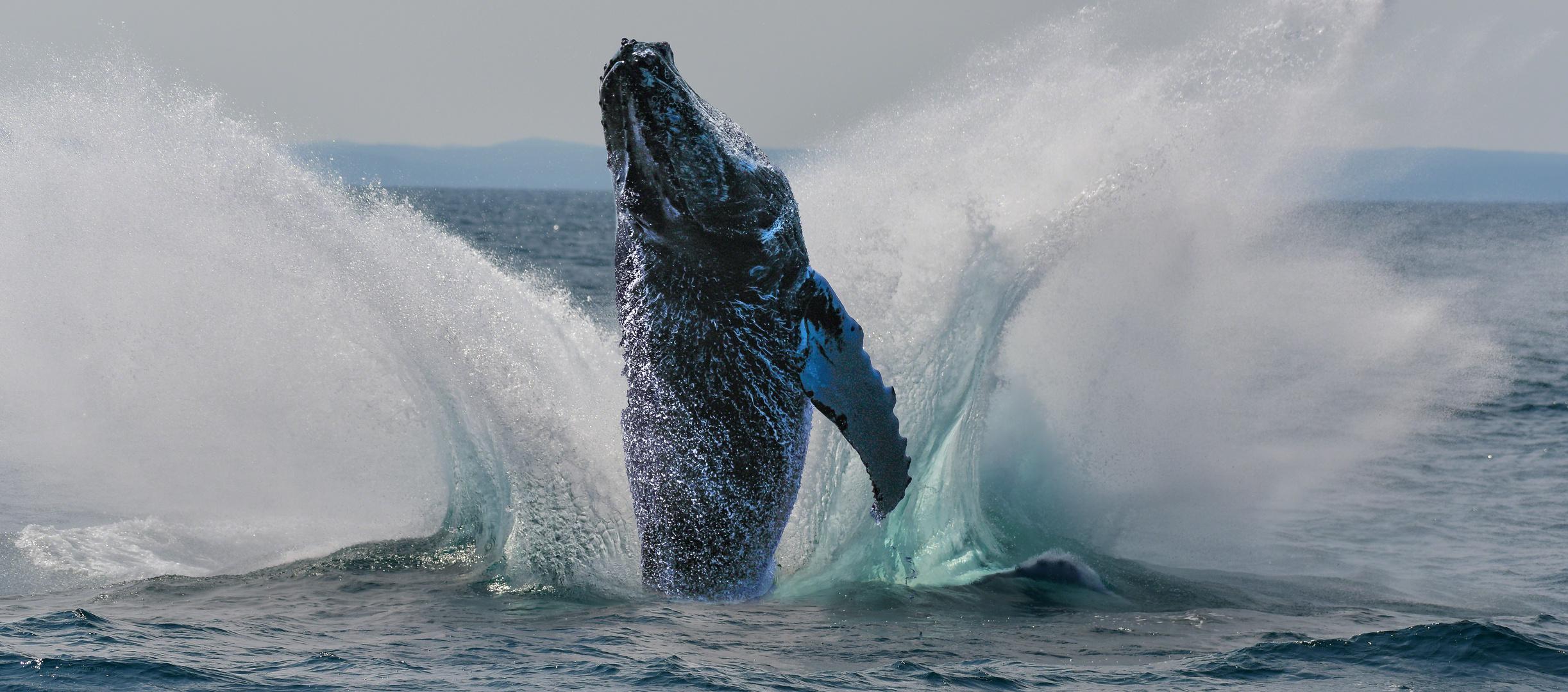 Jumping Humpback Whale... pure Lebenslust!
