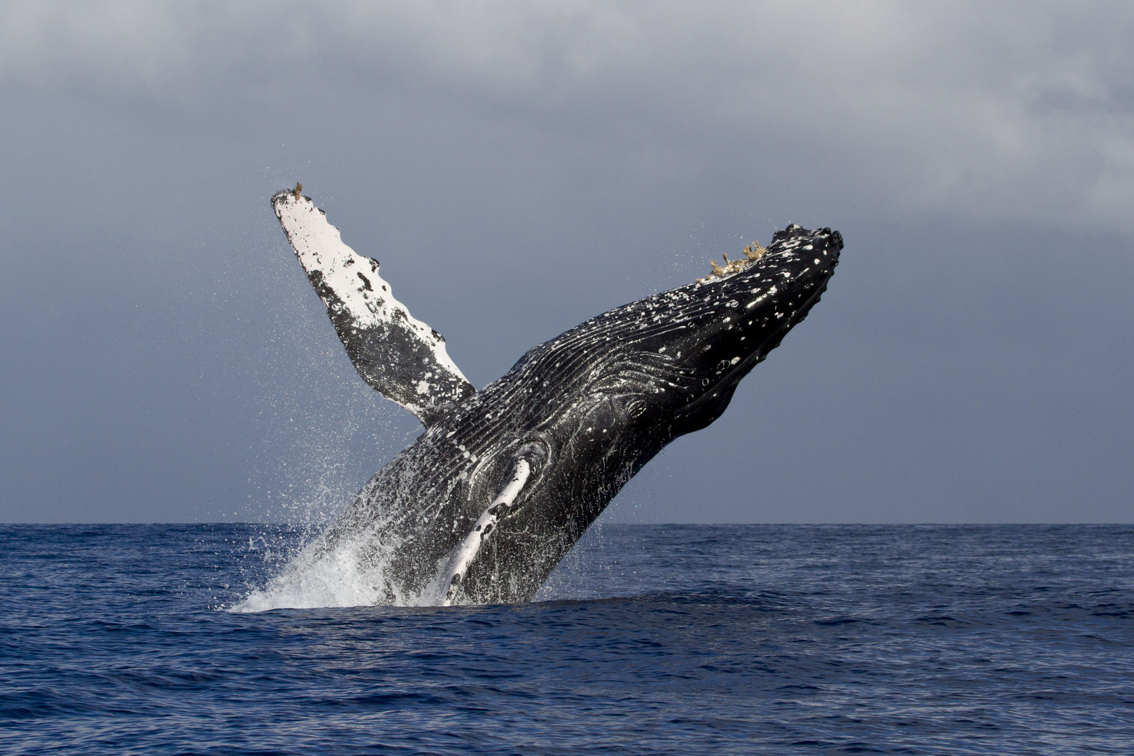 JUMPING HUMPBACKED WHALE