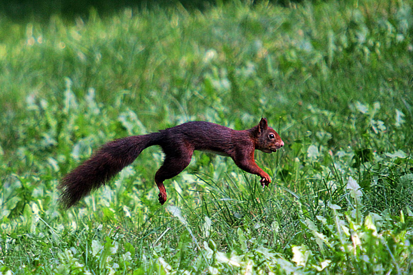 Jumping Jack Squirrel