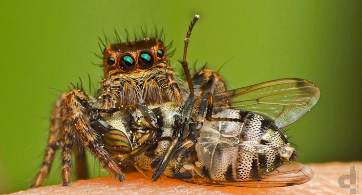 Jumping spider~