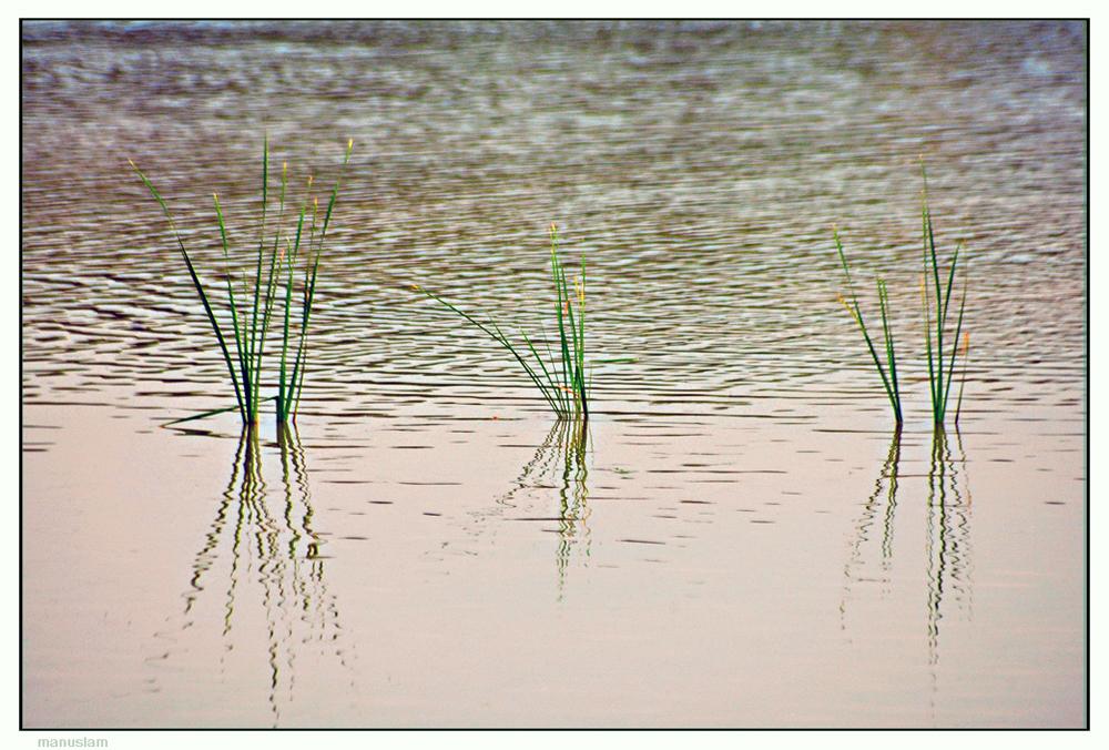 Juncos verdes en el estanque dorado