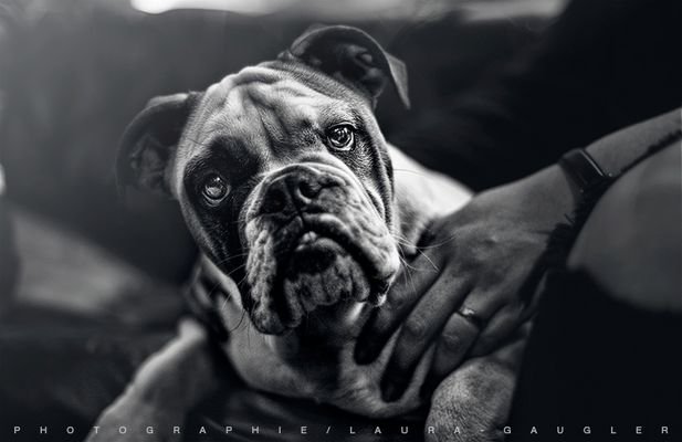 June, Old English Bulldog de 4 mois