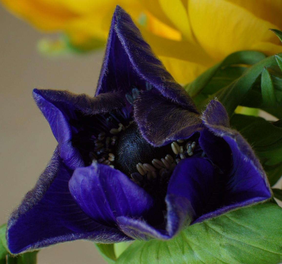 Jung-Anemone und Ranunkelchen