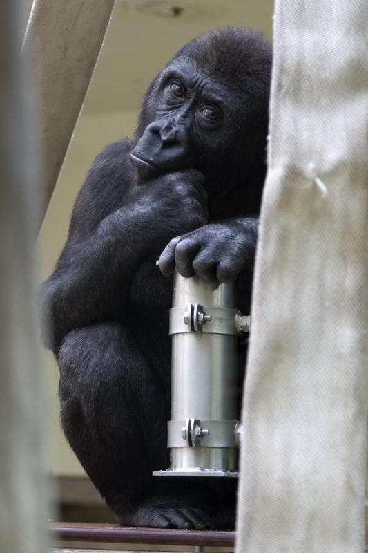 Jung-Gorilla