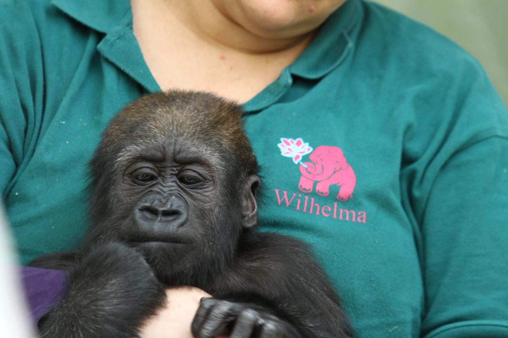 jung Gorilla.