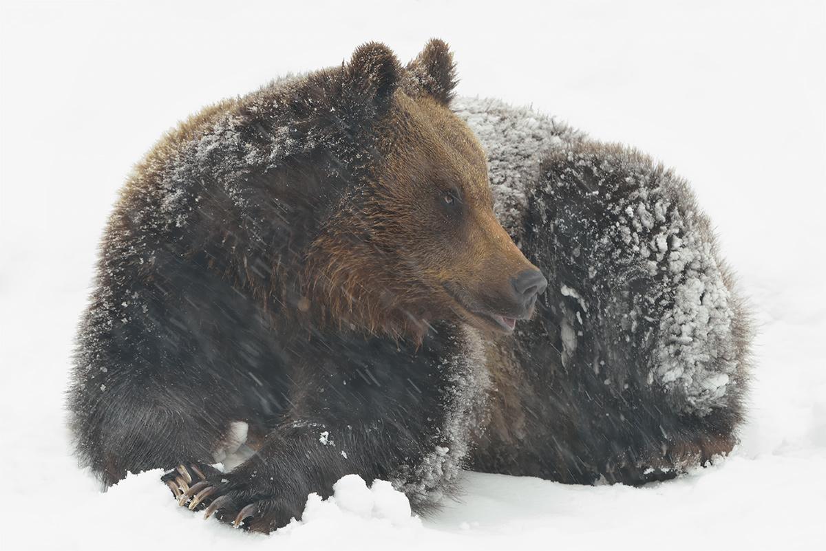 Jungbär im Schneetreiben