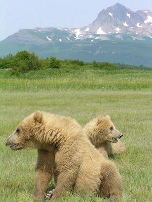 Jungbaeren in Alaska