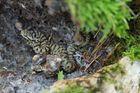 Junge Aspisviper (Vipera a.aspis)
