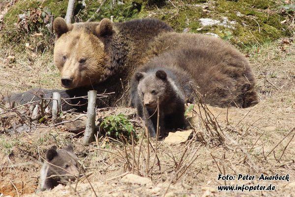 Junge Bären im Nationalpark Bayerischer Wald 2010