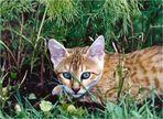 Junge Bengalkatze ...