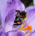 Junge Biene an einem Krokus