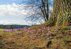 Junge Blüte und alter Baum