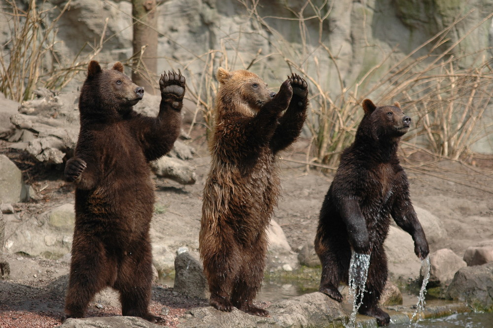 Junge Braunbären im Tierpark Hagenbeck
