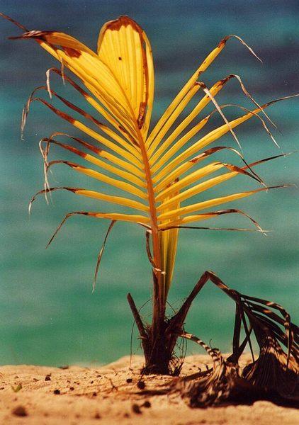 junge Cocospalme