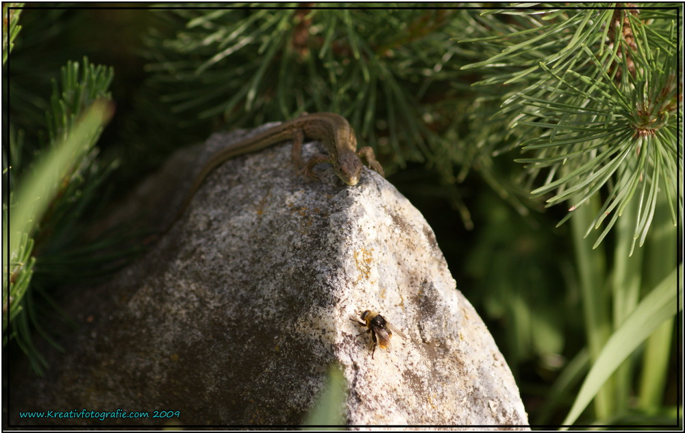 Junge Eidechse trifft junge Hummel
