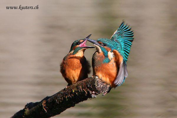 Junge Eisvögel