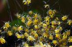 junge Garten-Kreuzspinnen