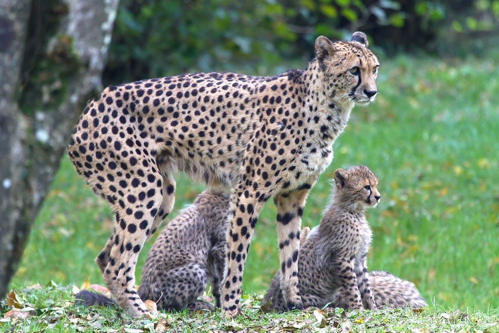 Junge Geparden mit ihrer Mutti