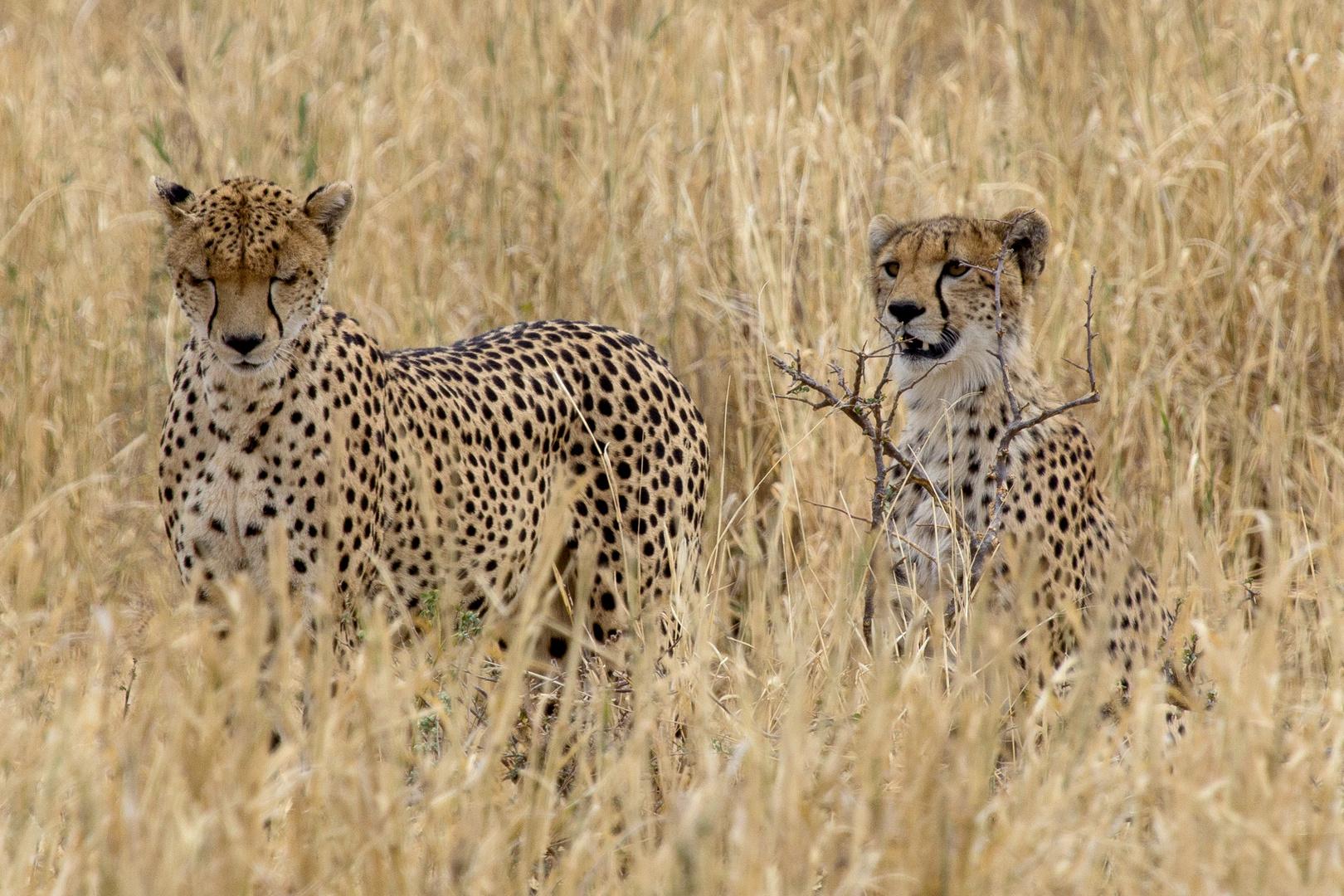 Junge Geparden trainieren die Jagd