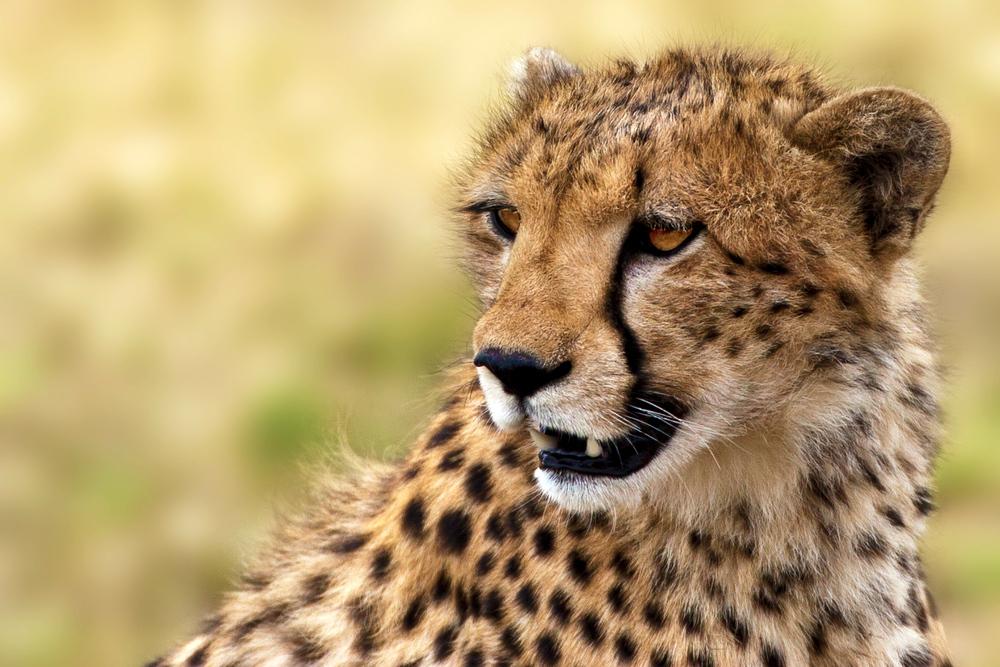junge Gepardendame