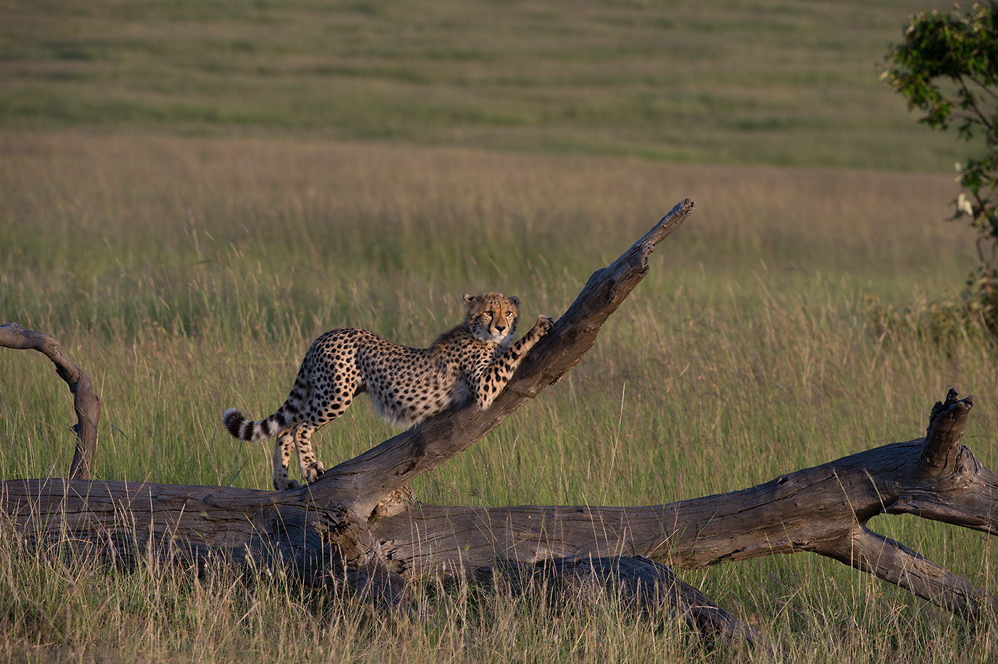 Junge Gepardin