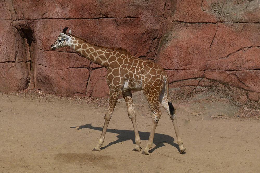 Junge Giraffe im Gaia-Park NL