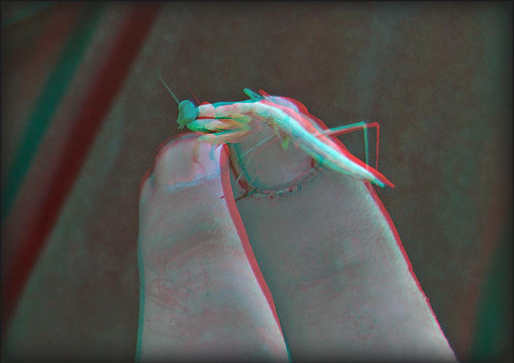 junge Gottesanbeterin (3D)