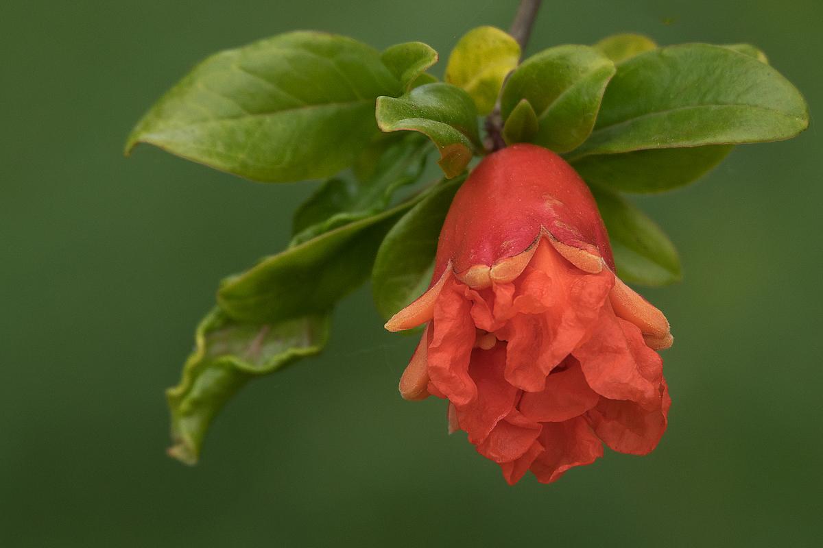 junge Granatapfelblüte