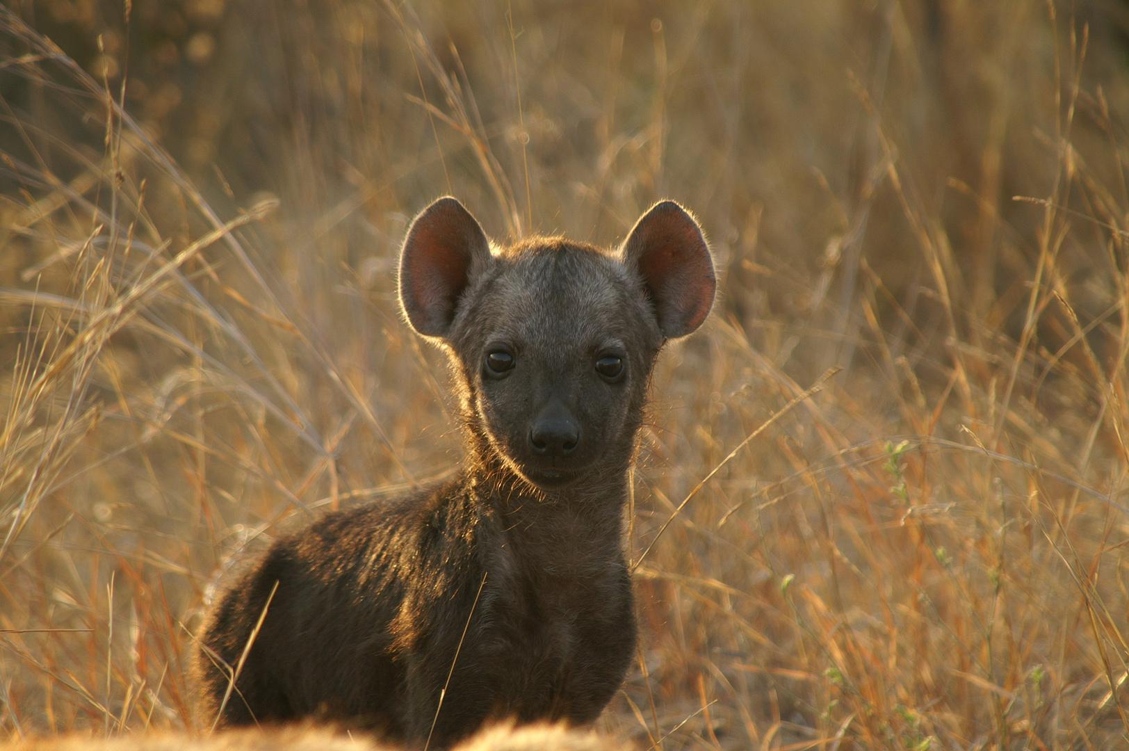 Junge Hyäne
